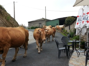 Cows coming down the street